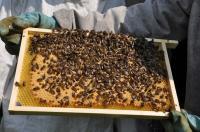 de honingbij